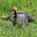 Domestic Guineafowl - Photo (c) Katja Schulz, some rights reserved (CC BY)