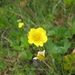 Mountain Avens - Photo (c) Sean Blaney, some rights reserved (CC BY-NC)