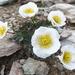 Ranunculus glacialis - Photo (c) Michael Steinwandter, algunos derechos reservados (CC BY-NC-ND)
