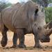 Rinoceronte Blanco - Photo (c) janaohrner, algunos derechos reservados (CC BY-NC)