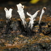 Xylaria hypoxylon - Photo (c) Stephen James McWilliam, alguns direitos reservados (CC BY)