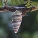 Liguus virgineus - Photo (c) Pedro Genaro Rodriguez, alguns direitos reservados (CC BY-NC)