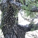 Alligator Juniper - Photo (c) mageronski, some rights reserved (CC BY-NC)