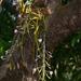 Dendrobium crepidatum - Photo (c) S.MORE,  זכויות יוצרים חלקיות (CC BY-NC)