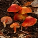 Scarlet Waxy Cap - Photo (c) alan_rockefeller, some rights reserved (CC BY-NC)