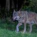 Canis lupus italicus - Photo (c) Roberto Ghiglia, alguns direitos reservados (CC BY-NC)