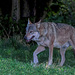 Italian Wolf - Photo (c) Roberto Ghiglia, some rights reserved (CC BY-NC)