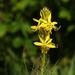 Asphodeline lutea - Photo (c) Klasse im Garten, osa oikeuksista pidätetään (CC BY-NC-ND)