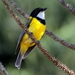 Golden Whistler - Photo (c) Graham Winterflood, some rights reserved (CC BY-SA)