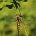 Corduliidae - Photo (c) Guy Lemelin, μερικά δικαιώματα διατηρούνται (CC BY-NC)
