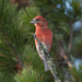 Red Crossbill - Photo (c) Sergey Pisarevskiy, some rights reserved (CC BY-NC-SA)