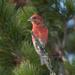 Picotuerto Rojo - Photo (c) Sergey Pisarevskiy, algunos derechos reservados (CC BY-NC-SA)
