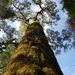 Afrocarpus - Photo (c) Peter Thompson, μερικά δικαιώματα διατηρούνται (CC BY-NC)