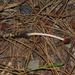 Ophiocordyceps gracilioides - Photo (c) Alan Rockefeller, μερικά δικαιώματα διατηρούνται (CC BY)