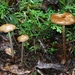 Oudemansiella megalospora - Photo (c) Alan Rockefeller, μερικά δικαιώματα διατηρούνται (CC BY)