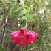 Bomarea salsilla - Photo (c) maca_sperry,  זכויות יוצרים חלקיות (CC BY-NC)