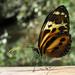 Mariposa Tigre - Photo (c) tatyana_kolesnikova, algunos derechos reservados (CC BY-NC)