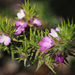 Purplegorses - Photo (c) Felix Riegel, some rights reserved (CC BY-NC)