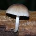 Pluteus longistriatus - Photo (c) alan_rockefeller,  זכויות יוצרים חלקיות (CC BY)