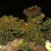 Leptogium phyllocarpum - Photo (c) Alan Rockefeller, algunos derechos reservados (CC BY)