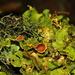 Crocodia aurata - Photo (c) Alan Rockefeller, μερικά δικαιώματα διατηρούνται (CC BY)