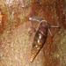 Cochlodina - Photo (c) WildlifeGardena, algunos derechos reservados (CC BY-NC-ND)
