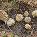Morchella tridentina - Photo (c) Alan Rockefeller,  זכויות יוצרים חלקיות (CC BY)