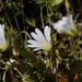 Cerastium glabratum - Photo (c) Dmitriy Bochkov, algunos derechos reservados (CC BY)