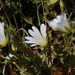 Cerastium glabratum - Photo (c) Dmitriy Bochkov, some rights reserved (CC BY)
