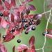Vaccinium arboreum - Photo (c) John C., algunos derechos reservados (CC BY-NC)