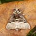 Megalopyge lampra - Photo (c) Karl Kroeker,  זכויות יוצרים חלקיות (CC BY-NC)