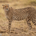 Cheetah - Photo (c) Irene Domhoff, some rights reserved (CC BY-NC)