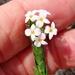 Gnidia spicata - Photo (c) linkie, algunos derechos reservados (CC BY)