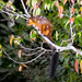 Petaurista marica - Photo (c) timboucher, μερικά δικαιώματα διατηρούνται (CC BY-NC)