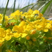 Hairy Puccoon - Photo (c) Ben VanderWeide, some rights reserved (CC BY-NC)