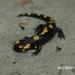 Salamandra longirostris - Photo (c) Annie Northfield, μερικά δικαιώματα διατηρούνται (CC BY-NC)