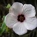 Pavonia Rosada - Photo (c) David Midgley, algunos derechos reservados (CC BY-NC-ND)
