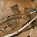 Platystictidae - Photo (c) Jim Johnson, osa oikeuksista pidätetään (CC BY-NC-ND)