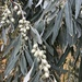Russian Olive - Photo (c) tejnarayan, some rights reserved (CC BY-NC)
