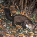 Stone Marten - Photo (c) Roberto Ghiglia, some rights reserved (CC BY-NC)