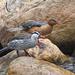 Pato de Torrente - Photo (c) Josh Vandermeulen, algunos derechos reservados (CC BY-NC-ND)
