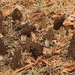 Morchella sextelata - Photo (c) Alan Rockefeller,  זכויות יוצרים חלקיות (CC BY)