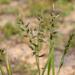 Enneapogon avenaceus - Photo (c) Kym Nicolson, algunos derechos reservados (CC BY)