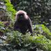 Langur de Nilgiri - Photo (c) Daniel George, algunos derechos reservados (CC BY-NC)