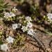 Leucheria cerberoana - Photo (c) Vicente Pantoja, some rights reserved (CC BY-NC)