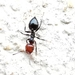 Mediterranean Acrobat Ant - Photo (c) bscrl, some rights reserved (CC BY-NC)