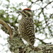 Checkered Woodpecker - Photo (c) Alexander Viduetsky, some rights reserved (CC BY-NC)