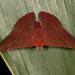 Mariposa Topacio - Photo (c) Karl Kroeker, algunos derechos reservados (CC BY-NC)
