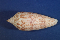 Image of Conus australis