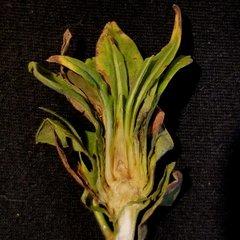 vertical section through R. solidaginis summer generation bud gall on Solidago altissima